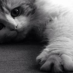 Luna (mieverschooten) Tags: lovely cute iphone darkroom blackandwhite animal friends luna cat bigeyes