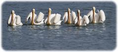 Six Beauties Here to Fish (grandmasandy+chuck) Tags: birds whitepelicans water osoflacolake on1pics border lake beauty white droh dailyrayofhope