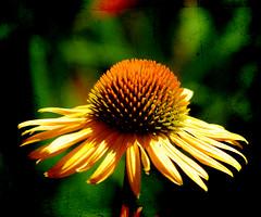Coneflower Textured (~Jeannine~) Tags: flowers flower texture yellow textures coneflower ie textured memoriesbook magicunicornmasterpiece exoticimage blinkagain
