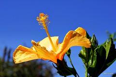 e o inverno chegou,,, (Mandeandrade) Tags: flower flor hibisco hibiscoamarelo mandrade eos550d canoneost2i mandeandrade