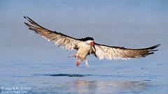 Black Skimmer (Bob Stronck) Tags: avian redwoodcity redwoodshores blackskimmer sanmateocounty rynchopsniger radioroad stronckphotocom birdsofsanfranciscobay ©2013rmstronck