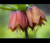 Just the two of us .... (Jan Gee) Tags: flores fleurs flora or blumen imperial crown bloemen fritillaria imperialis flowerthequietbeauty