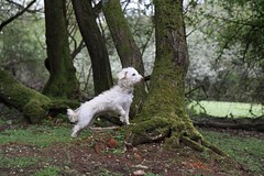 blustery day (romorga) Tags: trees summer england dog green forest woodland puppy moss woods young overcast hampshire plantation daisy adolescent newforest enclosure westiepoo 2013 romorga