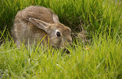 Hare or Rabbit (alone68) Tags: nature canon wildlife stodmarsh nnr