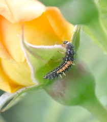 On the Hunt. (Omygodtom) Tags: macro green rose yellow bug insect bokeh existinglight tamron90mm d7000 elitebugs
