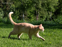 Follow Me, Gang! (Xena*best friend*) Tags: wood wild italy pet cats pets cute animals fur photography chats spring furry woods feline flickr shots tiger kitty kittens whiskers piemonte gato calico purr meow paws bp miao bradpitt gatto katzen pussycat markings miau feral wildanimals allrightsreserved alleycatallies piedmontitaly canonef70300mm canoneos500d eosrebelt1i
