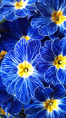 Happy spring to all of you! (jadzia0410) Tags: blue flower yellow spring gelb blau primula frhling primrose primel cowslip erdschlsselblume