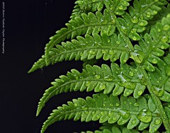 Fern (SY Taylor) Tags: fern water leaf spring michigan frond waterdrops fiddleheads spores