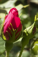 Buds (beingbailey) Tags: flowers nature rose spring blossom buds rosebuds naturethroughthelens