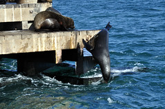 Heading off (Roving I) Tags: ocean sea nature wildlife australia diving victoria queenscliff chinamanshat furseals