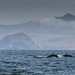 Two Blue whales (Balaenoptera musculus) with Morro Rock and the power plant effluent stacks visible in the background,