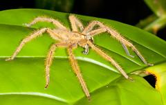 Spider - Sarawak, Malaysia (kkchome) Tags: nature fauna spider asia wildlife places sarawak malaysia kuching