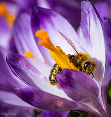 Bee at work (nemi1968) Tags: flowers orange flower macro eye yellow oslo closeup canon insect spring wings purple outdoor crocus bee april pollen vr markiii ef100mm macro100mm canon5dmarkiii ef100mmf28lmacroisusm