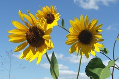 Kansas Sunflowers (Ela Lorian) Tags: sky sun yellow sunflower kansas flowerplants