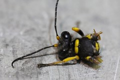 "Decapitated wasp • <a style=""font-size:0.8em;"" href=""http://www.flickr.com/photos/27717602@N03/9109611667/"" target=""_blank"">View on Flickr</a>"