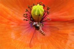Focused wings (fxdx) Tags: red flower macro nature wings poppy focused hoverfly