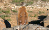 "Yellow-bellied Marmot Mom2""© Chelsea Stark http://www.chelseastarkphotography.com (chelseastarkphotography.com) Tags: nature animal animals cat blind photos photographers master monumentvalley blindphotographers colorphotoaward planetanimal flickraward"" chelseastark photographyblind blind7photography photosmaster roseawardsnature masterphotos""wonderworld"" favoriteflickraward"" blindpeoplephotography favoriteblind starkchelseastarkcomdiamond typesanimalplanetanimalsanimalsblind photosagathla peakanimalplanetanimalsanimalsblind flickraward""photojournalismphotosphotos photographersanimal diamondmaster blindflickraward"" naturephotographersphotosphotos blindflickrphotographers"