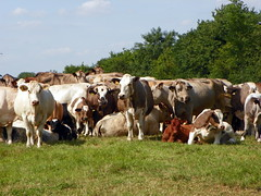 GOC Markyate 115: Cattle herd (Peter O'Connor aka anemoneprojectors) Tags: england animal mammal cow cattle kodak bedfordshire bos bovidae bovine animalia mammalia artiodactyla goc bosprimigeniustaurus studham 2013 artiodactyl bosprimigenius gayoutdoorclub centralbedfordshire z981 kodakeasysharez981 gochertfordshire hertfordshiregoc gocmarkyate