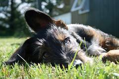 Chill Oskar (enricohilger) Tags: dogs wiese hund dackel mischling ohren enricohilger