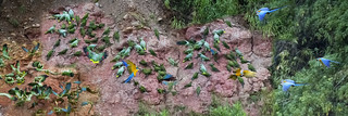 Macaw Clay Lick-Tambopata Research Center-Carabaya-Puno-Peru-Canon 1DX-Canon 800mm F/5.6L IS USM