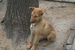 Anglų lietuvių žodynas. Žodis canis familiaris reiškia <li>canis familiaris</li> lietuviškai.