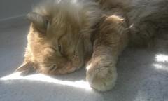 IMAG0385 I say a little prayer for you (drayy) Tags: orange cute cat ginger soft fluffy sleepy mainecoon neko ggg cc300 cc200 cc100 oreengeness thebiggestgroupwithonlycats