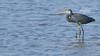البلشون الرمادي (Adel Hilal عادل الهلال) Tags: البحر السعودية العربية المملكة طيور الرمادي البلشون