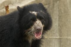 learning opera (ucumari photography) Tags: bear zoo oso smithsonian dc washington national april andean spectacled 2011 chaska ucumariphotography dsc7972 osoandino eljuco