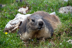 "Marmot stares at me • <a style=""font-size:0.8em;"" href=""http://www.flickr.com/photos/30765416@N06/11393191786/"" target=""_blank"">View on Flickr</a>"