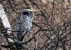 Frigid Fisher (Wes Iversen) Tags: winter ice nature birds wildlife odc hcs blueherons cookcountyforestpreserve nikkor18300mm ourdailychallenge clichésaturday busseforestnaturepreserve bussedam