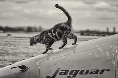Jaguar & Cat (Rami Khanna-Prade) Tags: cats planes muret toulouse jaguar bomber france england sepecat journéeduchat internationalcatday aircraft avgeekairplane aviationaircraftaviationphotography avporn aerophotography avgeek