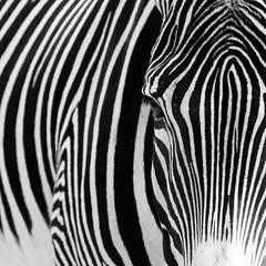 Zbre 2 (nadou6 (nadge gascon)) Tags: canon is noiretblanc l 70200 f4 zebre animalier vision:text=055