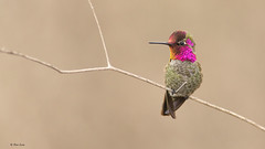 Anna's Hummingbird (E_Rick1502) Tags: {vision}:{sunset}=0569 {vision}:{text}=0535