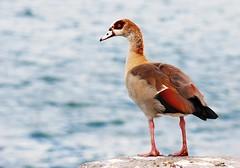 Egyptian goose (sendroiu) Tags: jetty goose shipyard egyptiangoose alopochenaegyptiacus