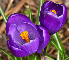 Purple (joeke pieters) Tags: flower garden purple crocus tuin krokus paars bloem platinumheartaward mygearandme mygearandmepremium mygearandmebronze mygearandmesilver blinkagain panasonicdmcfz150 1130968
