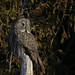 Great Gray Owl...#4