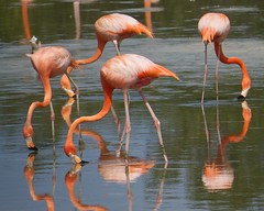 American Flamingo. Cayo Coco, Cuba. (David Ascanio (VENT & Ascanio Birding Tours)) Tags: old david nature vent cuba victor international tours endemic havanna emanuel trogon expeditions tody ascanio birdingcuba