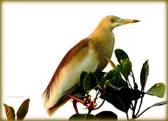 Indian Pond Heron (c4roy) Tags: bird heron pond indian nikoncoolpixp520 tripuraindia