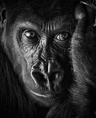 The Eyes Don't Lie (jeffsmallwood) Tags: portrait blackandwhite monochrome animal closeup zoo gorilla ape