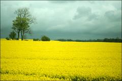 Yellow fields and dark sky (*Kicki*) Tags: skåne yellow field sky sweden närrapsenblommar 100mm explore flickrexplore explored rapefield raps rapeseed rapsfält rural landscape nature countryside