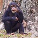 """Chimpansee • <a style=""""font-size:0.8em;"""" href=""""http://www.flickr.com/photos/128593753@N06/15914407354/"""" target=""""_blank"""">View on Flickr</a>"""