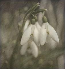 Snowdrop study 15/365 (radleyfreak (offline for a while)) Tags: snowdrops herefordshire 365 nationaltrust theweir
