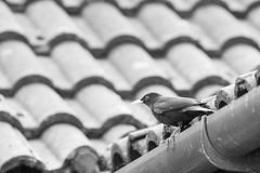 31.1.15 - Monochrome Blackbird (Pittypomm) Tags: roof bird eye monochrome beak feathers drain tiles perch gutter blackbird