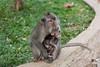 Taking care [Bali, Indonesia] (Melvinia_) Tags: bali baby green nature animal indonesia 50mm grey gris monkey bokeh young vert bébé ubud petit singe macaque jeune monkeyforest indonésie canoneos450d digitalrebelxsi