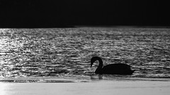 Lone Swan Mono (Northern Kev) Tags: blackandwhite ice water mono frozen swan pond nikon ripple northumberland cramlington northeast 55200 d3200 arcot arcothallpond