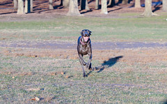 out of my wayyyyy!!!! (VanaTulsi) Tags: dog weimaraner weim blueweimaraner vanatulsi blueweim