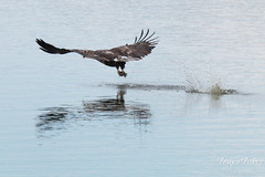 Juvenile Bald Eagle fishing sequence - 6 of 13