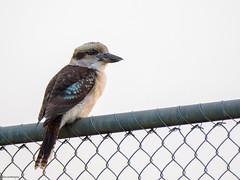 Kooka on the fence (Derek Midgley) Tags: kookaburra dacelonovaeguineae p5133449