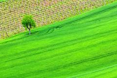 green (luporosso) Tags: trees italy naturaleza tree nature alberi landscape landscapes countryside nikon italia country natura minimal minimalism minimalismo albero paesaggi marche paesaggio naturalmente pajsage luporosso nikond300s