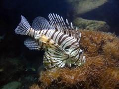antwerp_4_107 (OurTravelPics.com) Tags: zoo aquarium antwerp lionfish